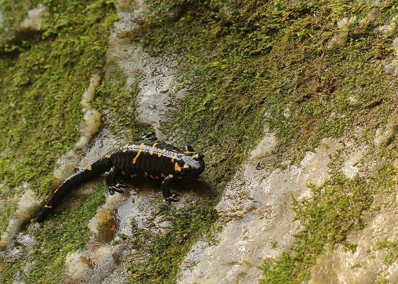 salamandra pezzata 001 - Copia.JPG