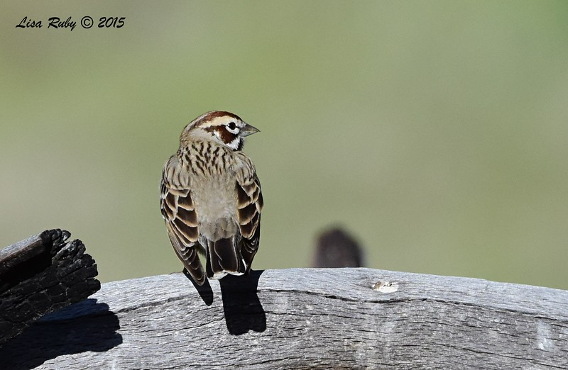 Lark Sparrow -  4/11/2015 - Stonewall Mine trails