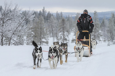 Dog sledding (day 5)