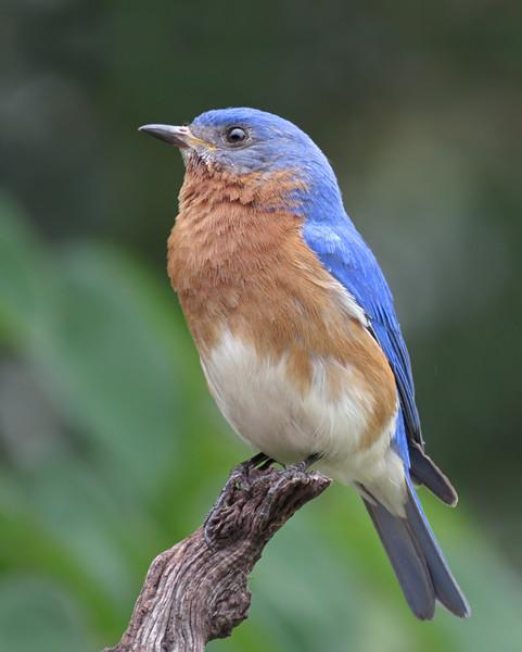sx50_bluebird_ben_boas_615.jpg