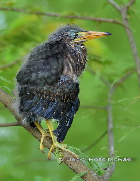 Nature_Becky McRae_Green Heron Baby in Cypress_24_Outstanding Image.jpg