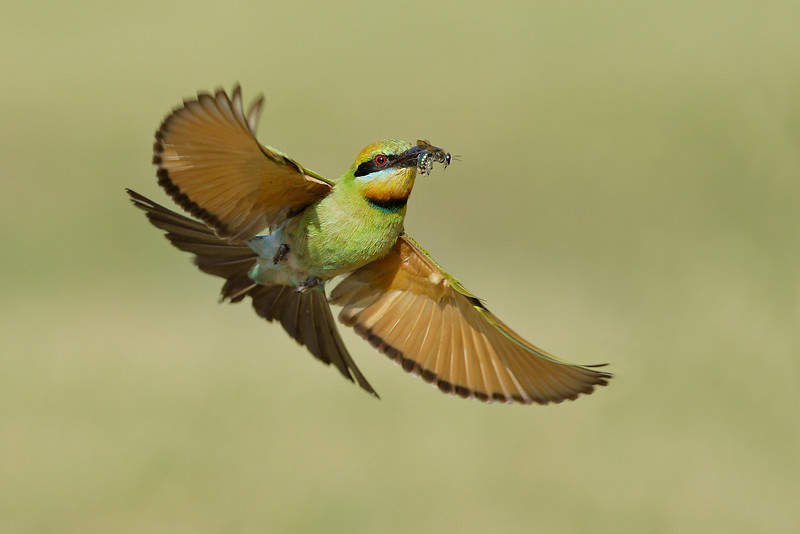 Rainbow Bee-eater flight MASTER.jpg