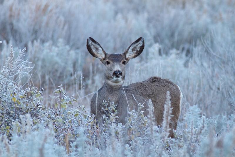Mule Deer Roosevelt National Park ND IMG_7545.jpg