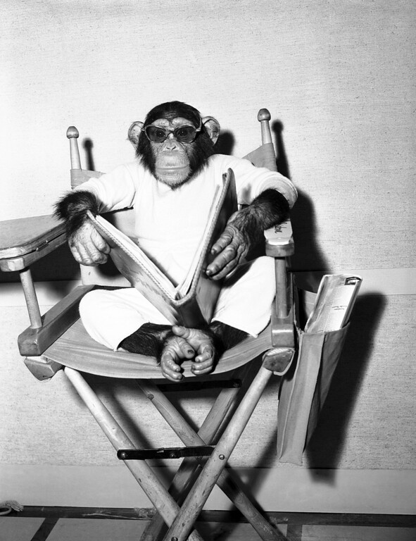. Bonzo, the movie star chimpanzee, makes like a director, sun glasses and all on Jan. 21, 1951. The educated simian is starring in a film entitled, appropriately, �Bedtime for Bonzo� in Hollywood, Calif.. (AP Photo)
