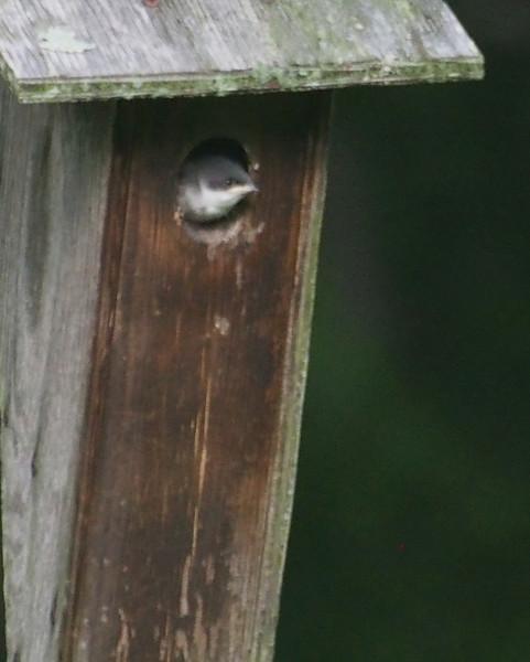 Baby Blue Bird 2.jpg