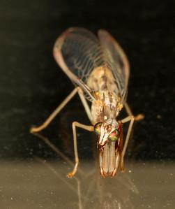 Lacewings, Mantisflies, Caddisflies, Antlions, etc.
