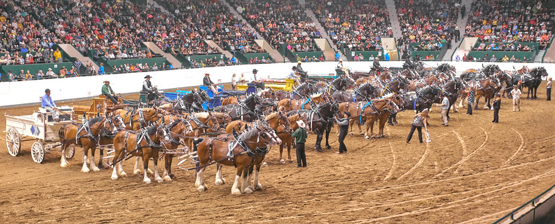 Conclusion of the draft horse team competition at the Minnesota State fair:  magnificent Clydesdales, Percherons  and Belgians hitched to wagons.