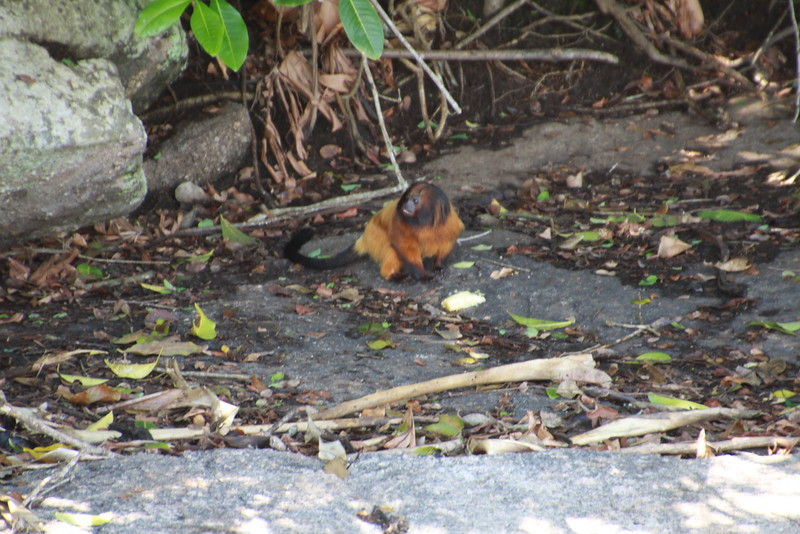 Golden Lion Tamarin monkey on Ile de Mantimento