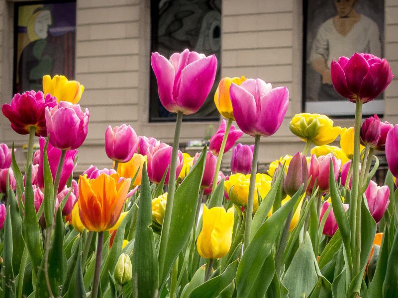may 4 - tulips.jpg