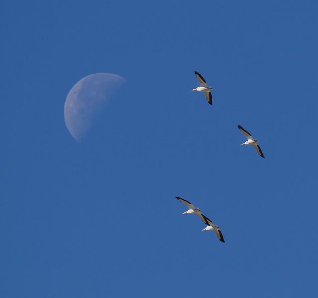 White Pelicans Batiquitos Lagoon 2015 03 13-2.jpg