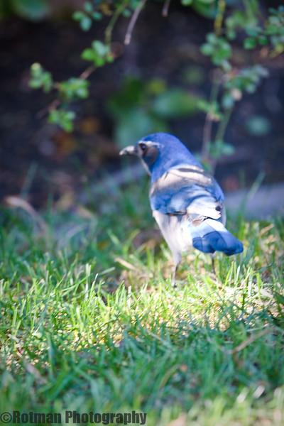 Blue Jay-7639.jpg