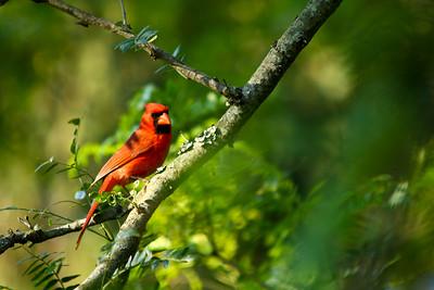 cardinal-17