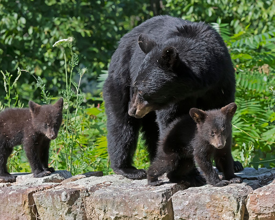 Black Bears of Virginia