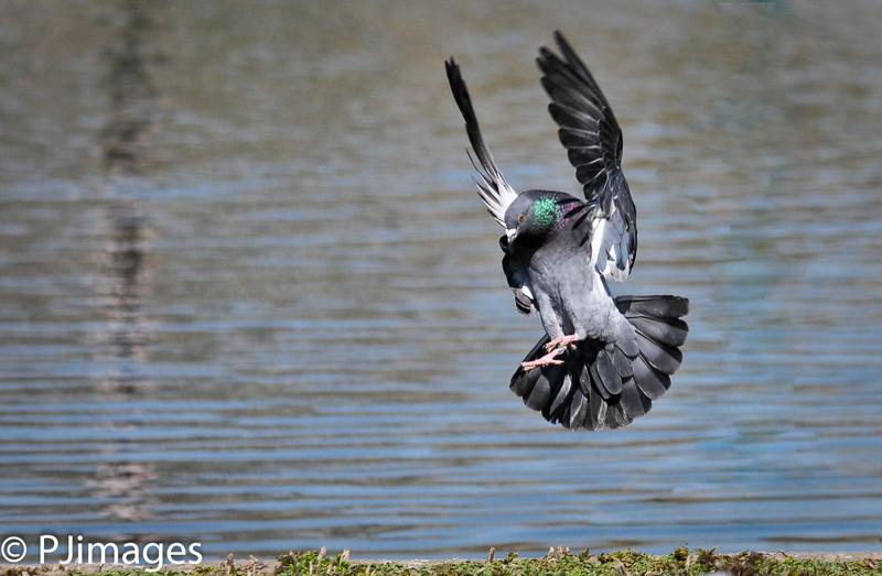 Birds_in_flight-9756-Edit-Edit.jpg