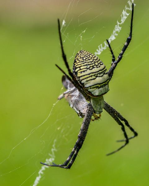 Signature-Spider-with-kill.jpg