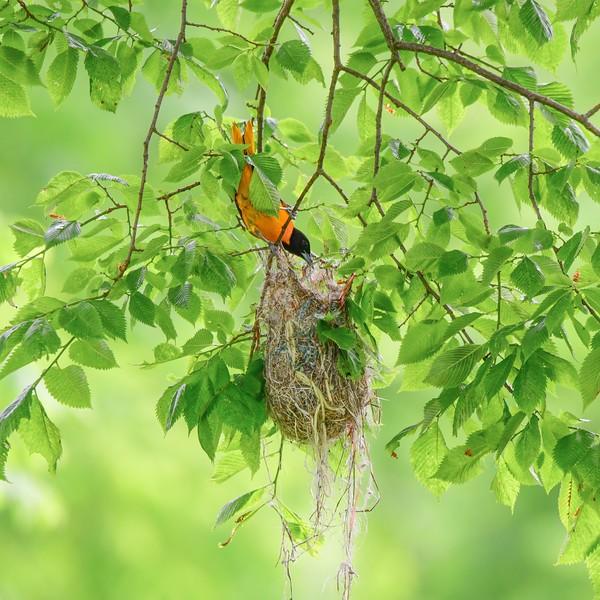 Baltimore oriole & nest
