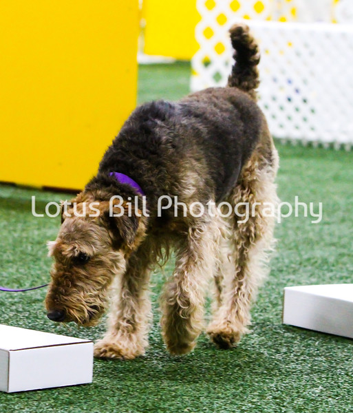 Airedale Terrier KY