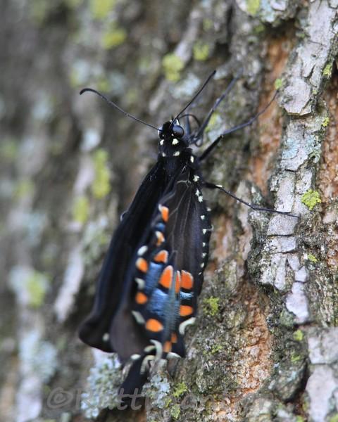 TigerSwallowtail032012_002.jpg
