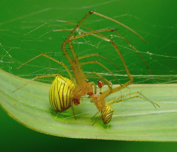 Big-Jawed Spiders (Tetragnathidae)