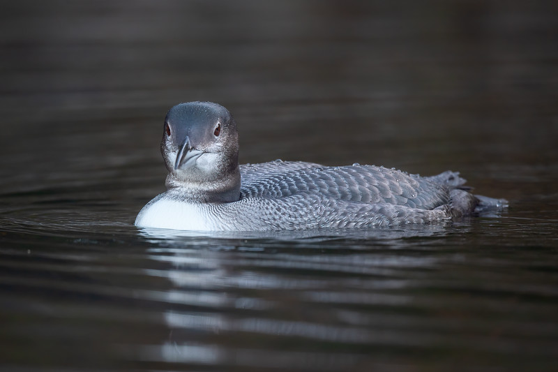 #1298 Common Loon Chick