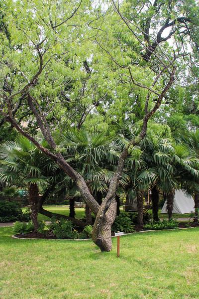 The Alamo - Oak Tree