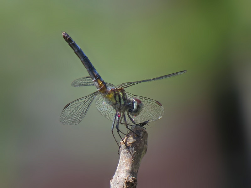 sx50_dragonfly_fauna_251.jpg