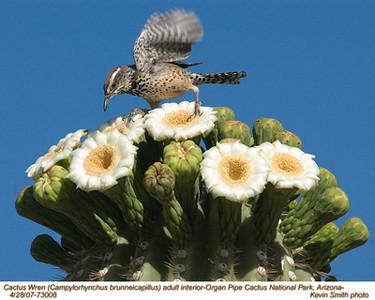 CactusWrenA73008.jpg