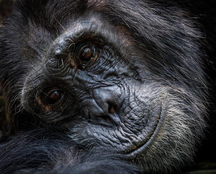 African_Apes_0218_PSokol-1570.jpg