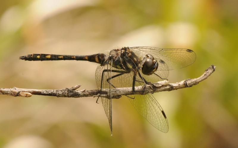 Sympetrum danae (Black Meadowhawk), Saskatchewan, CA