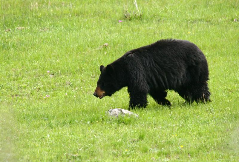 A black bear walks across a meadow