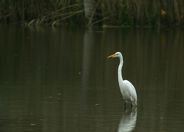 Five Egrets and a Great Blue Heron
