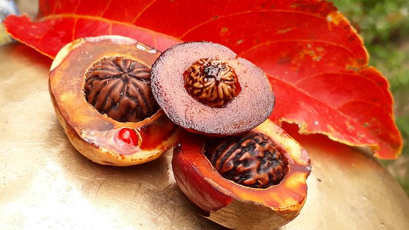 Exploring Avocado sèed in Rudraksha pendant