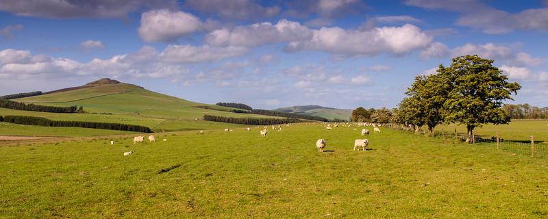 Sheep in the Southern Uplands