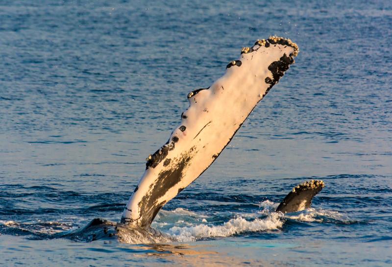 Maui Whales-30.jpg