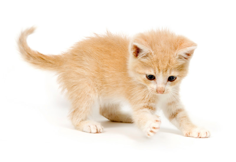Yellow kitten pawing at a toy on a white background