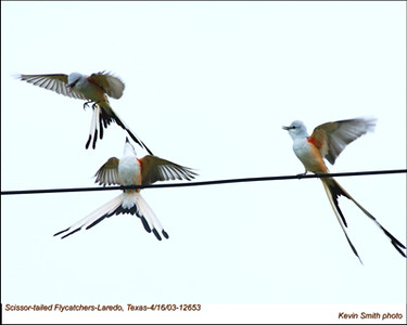 ScissorTailedFlycatchers12653.jpg