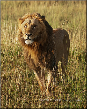 Lions & Other Cats of Kenya