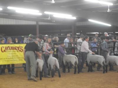 HCF Market Lamb Show 2014