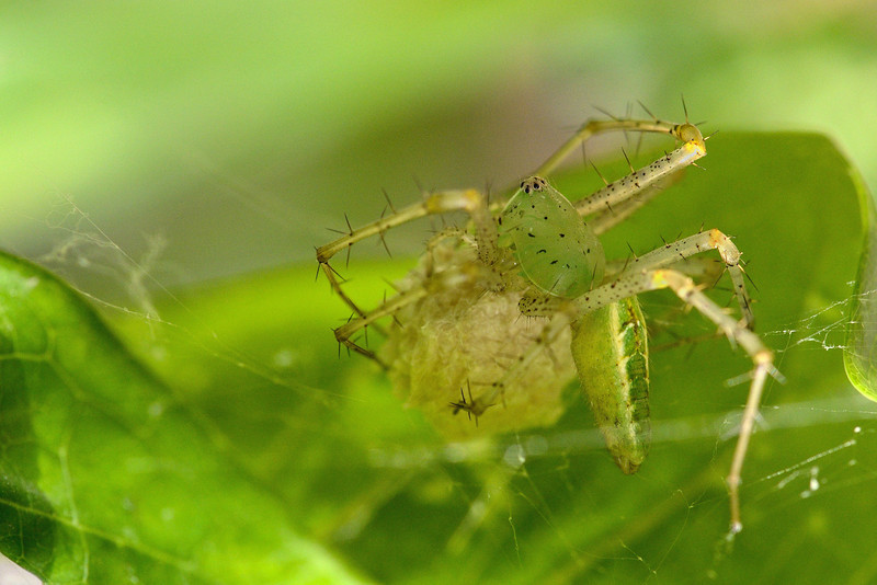 Green-Lynx-Spider-with-egg-case.jpg