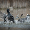 Fighting Black Coot | Kämpfendes Blässhuhn