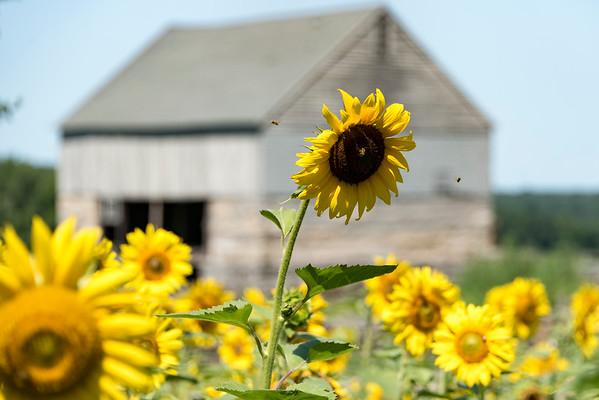 SRIP Buttonwood Sunflowers