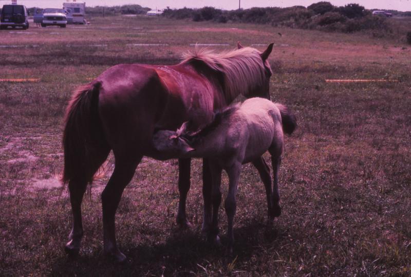 Chincoteague 1981-07 012.jpg