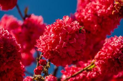Late Double Red Flowering Peach (Prunus persica sp.)