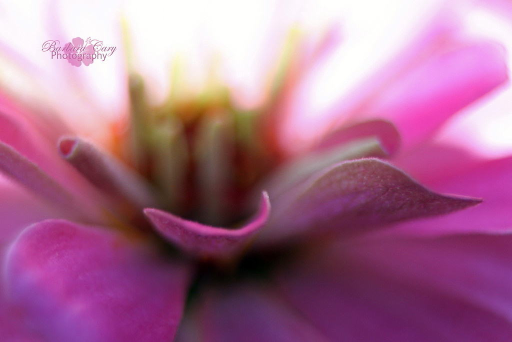 pink zinnia IMG_2copy
