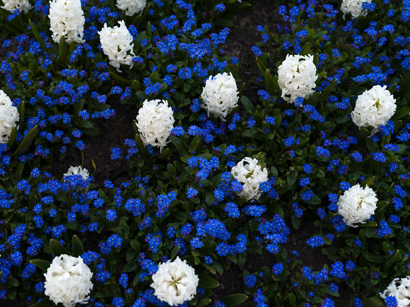 High angle view of flowers in bloom, Victoria, British Columbia, Canada