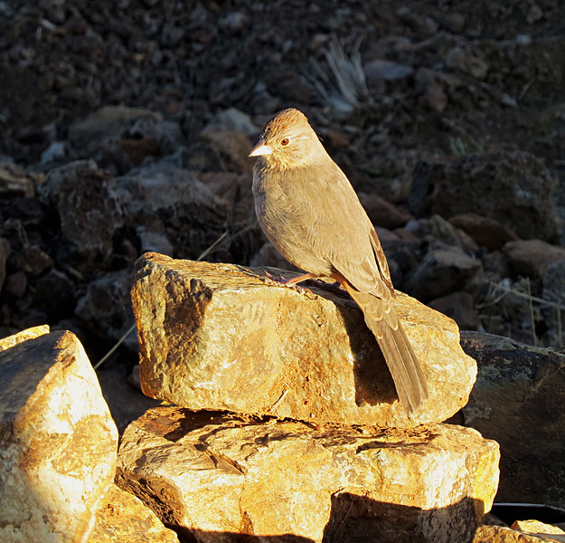 Canyon Towhee morning on rock.jpg