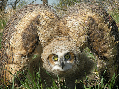 Great Horned Owls (Bubo virginianus)