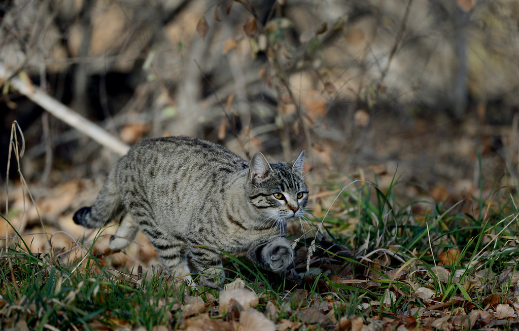 . A cat walks along South Platte River Dr., where a colony of feral cats is living in Denver, CO, Friday December 07, 2012. Craig F. Walker, The Denver Post