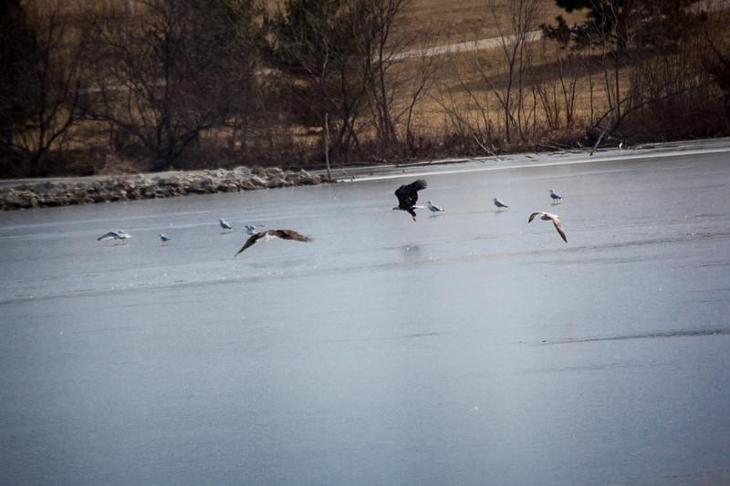 Eagle Soaring lake-7123.jpg