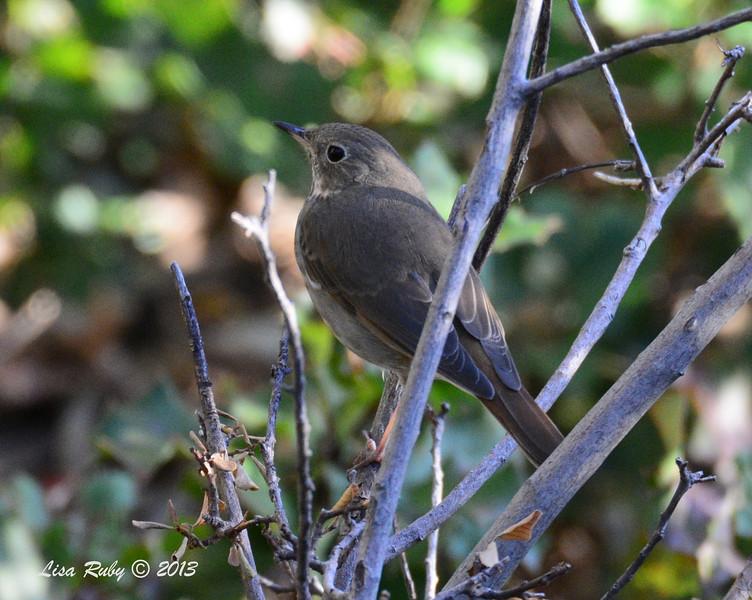 Hermit Thrush - Strawberry Hill Cabin, Pine Hills - 10/22/13